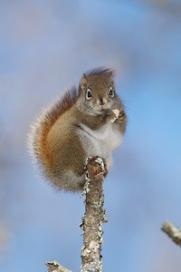 On cold winter days Red Squirrels use their fluffy tail as a back warmer [January; Hedbom Road, Aitkin County]