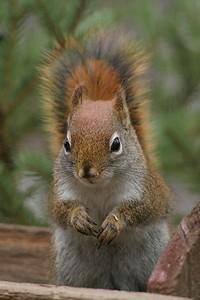 Red Squirrel Skogstjarna Carlton Co MN 125_2553