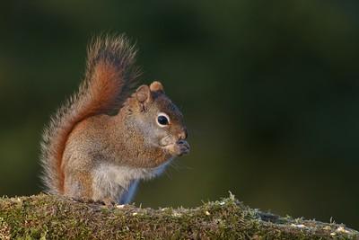 Red Squirrel Skogstjarna Carlton Co MN IMG_9867