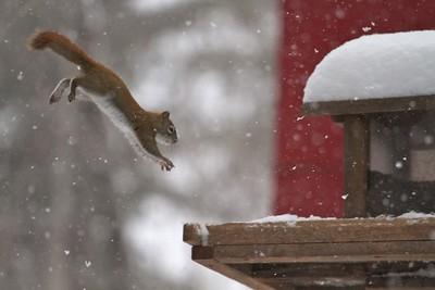 Red Squirrel leaping feeders Skogstjarna Carlton County MN IMG_0071313