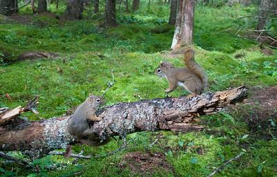 Red Squirrel Camtraption camera trap Admiral Road Sax-Zim Bog MN _MG_4158