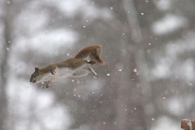 Red Squirrel leaping feeders Skogstjarna Carlton County MN IMG_0071336