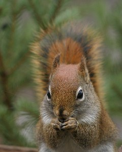 Red Squirrel Skogstjarna Carlton Co MN 125_2552