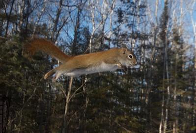 Red Squirrel leap Skogstjarna Carlton Co MN IMG_0072549