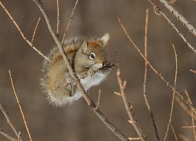 Red Squirrel eating Tamarack buds Sax Road Sax-Zim Bog MN IMG_4083