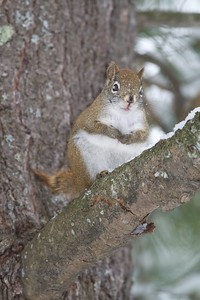 Red Squirrels are most at home (and safest) in the trees [December; Jay Cooke State Park, Carlton County, Minnesota]