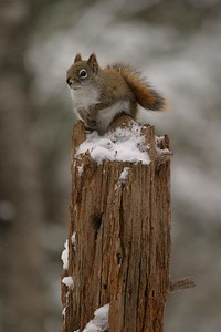 Red Squirrel Skogstjarna Carlton Co MN 109_0904