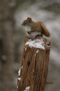 Red Squirrel Skogstjarna Carlton Co MN 109_0902