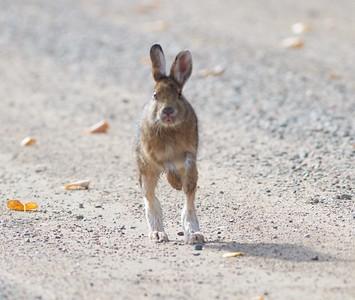 Snowshoe Hare McDavitt Road Sax-Zim Bog MN IMG_9960