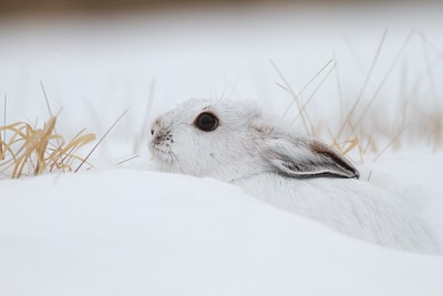 Snowshoe Hare Lepus americanus CR52-Arkola Sax-Zim Bog MN IMG_0002195