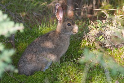 Snowshoe Hare Lepus americanus Yellow-bellied Bog Peary Rd Sax-Zim Bog MN IMG_4791