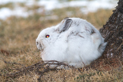 Snowshoe Hare along Scenic 61 Duluth MN IMG_5934-2