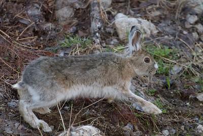 Snowhsoe Hare Echo Trail Ely MN IMG_0036322