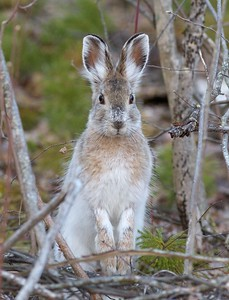 Snowshoe Hare Lepus americanus Echo Trail Ely MN IMG_0036316