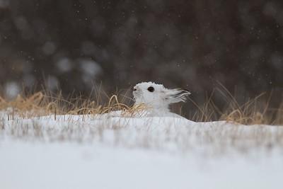 Snowshoe Hare Lepus americanus CR52-Arkola Sax-Zim Bog MN IMG_0002115