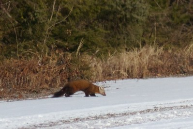 Pine Marten Stoney River Forest Road Superior National Forest Lake Co MN IMG_8042