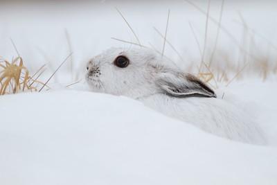 Snowshoe Hare Lepus americanus CR52-Arkola Sax-Zim Bog MN IMG_0002197