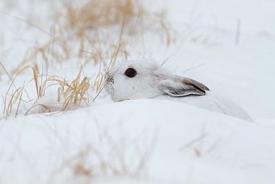 Snowshoe Hare Lepus americanus CR52-Arkola Sax-Zim Bog MN Snowshoe Hare Sax-Zim Bog MN IMG_0002136