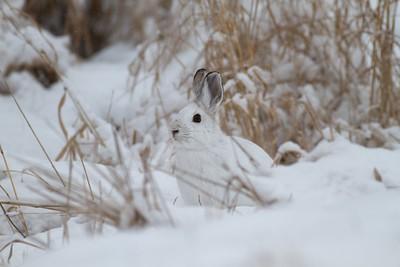 Snowshoe Hare Lepus americanus CR52-Arkola Sax-Zim Bog MN IMG_0002037