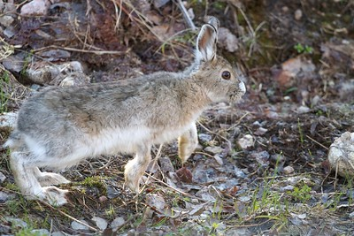 Snowshoe Hare Lepus americanus Echo Trail Ely MN IMG_0036324