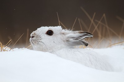 Snowshoe Hare Lepus americanus CR52-Arkola Sax-Zim Bog MN Snowshoe Hare Sax-Zim Bog MN IMG_0002181