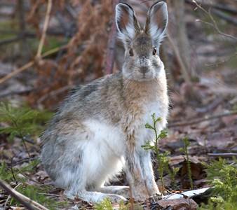 Snowshoe Hare Lepus americanus Echo Trail Ely MN IMG_0036314