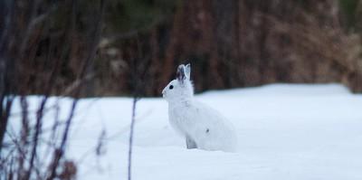 Snowshoe Hare Gene Letty's homestead CR104 Carlton Co MN IMG_3279