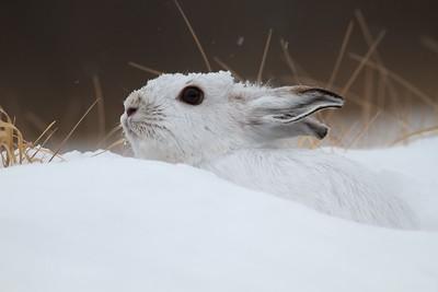 Snowshoe Hare Lepus americanus CR52-Arkola Sax-Zim Bog MN Snowshoe Hare Sax-Zim Bog MN IMG_0002188