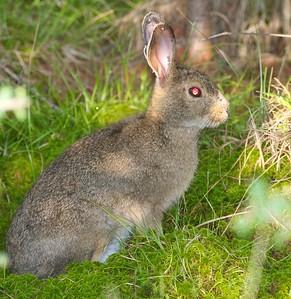 Snowshoe Hare Lepus americanus Yellow-bellied Bog Peary Rd Sax-Zim Bog MN IMG_4789