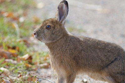 Snowshoe Hare McDavitt Road Sax-Zim Bog MN IMG_9964