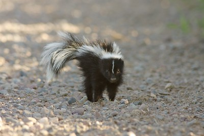 Striped Skunks must learn to use their odoriferous spray as a defense [July; Carlton County, MInnesota]
