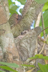 It's hard to see, but this mama Three-toed Sloth has a baby clinging to her [March; near Manuel Antonio National Park, Costa Rica]