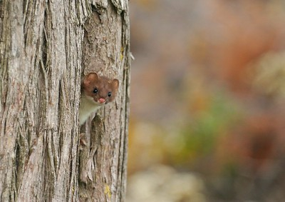 This curious weasel (Long-tailed or Short-tailed...I can't see the tail!) responded to my imitation of a cow Moose in rut [October; Superior National Forest, Cook County, Minnesota]