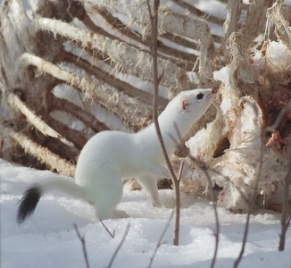 Ermine Owl Ave feeders Sax-Zim Bog MN IMG_4429