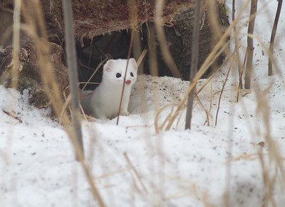 Ermine Short-tailed Weasel Welcome Center Owl Avenue Sax-Zim Bog MNIMG_5751