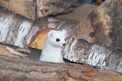 Ermine Short-tailed Weasel in wood pile Skogstjarna Carlton County MNIMG_0583
