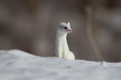 Ermine Weasel Peary Road Sax-Zim Bog MN IMG_7545