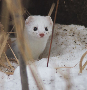 Ermine Short-tailed Weasel Welcome Center Owl Avenue Sax-Zim Bog MNIMG_5758