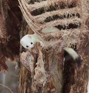Ermine Short-tailed Weasel rib cage Loretta's feeders Sax-Zim Bog MN IMG_2546