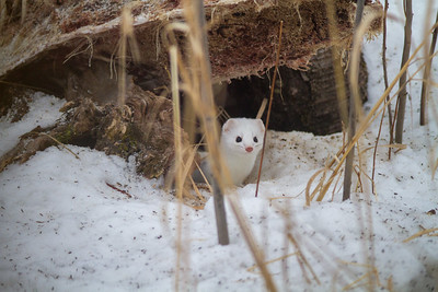 Ermine Short-tailed Weasel Welcome Center Owl Avenue Sax-Zim Bog MNIMG_5755
