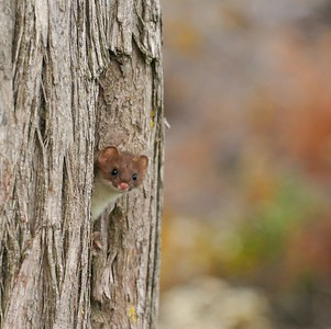 While calling for Moose, we inadvertantly attracted the attention of this curious weasel [October; Superior National Forest, Cook County, MInnesota]