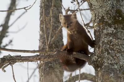 Pine Martens are arboreal weasels that live in the boreal north. They specialize in chasing down Red Squirrels in the trees...No easy feat! [February; Sax-Zim Bog, northern Minnesota]