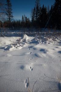 Pine Marten tracks? McDavitt Rd Sax-Zim Bog MN IMG_0980