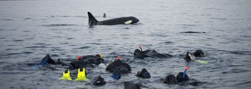 Snorkeling with Orca's & Whales