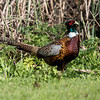 RING-NECKED PHEASANT - MALE