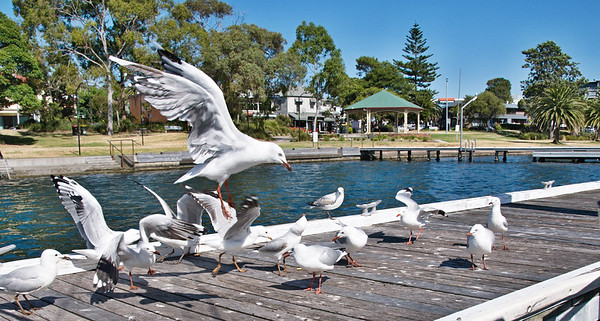 Seagulls at a marina fighting for food scraps.