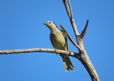 BOWERBIRD GREAT_43