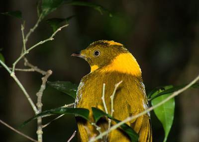 BOWERBIRD GOLDEN M_11