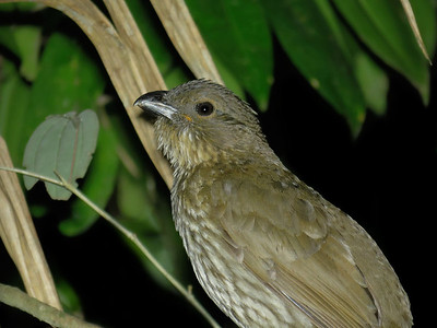 BOWERBIRD TOOTH-BILLED_07