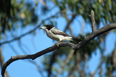 BUTCHERBIRD GREY_01